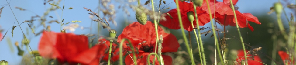 Summer Poppies Header Image